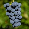 About Barbera Red Wine
