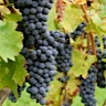About Cinsault Red Wine