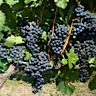 About Dolcetto Red Wine