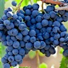 About Mourvedre Red Wine
