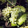 About Riesling White Wine