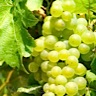 About Vidal Blanc White Wine