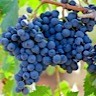 About Zinfandel Red Wine
