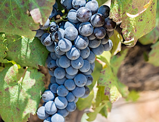 Pinotage: A South African Original